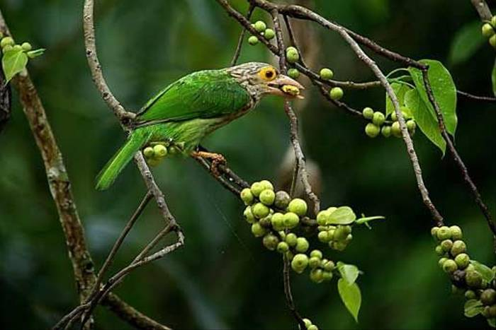 Lineated Barbet (S. Y. Phanich)