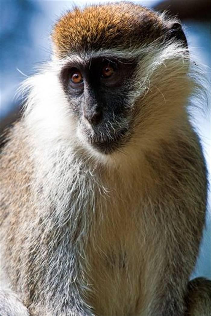 Grivet Monkey (Dani Free)