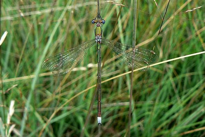 Small Spreadwing Lestes virens m uppers (Dave Smallshire)