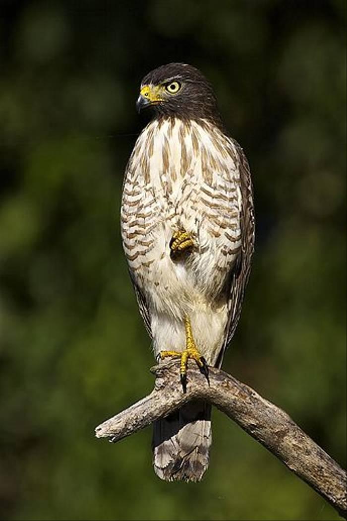Roadside Hawk (Dani Free)