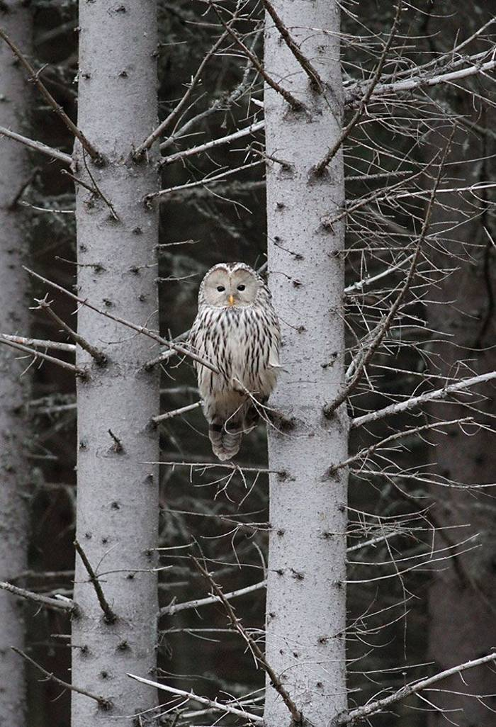 Ural Owl Daniel Green)