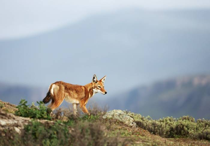 Ethiopian Wolf, Ethiopia shutterstock_1411848203.jpg