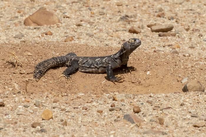 Sudan Spiny-tailed Lizard_Javi Elorriaga.jpg