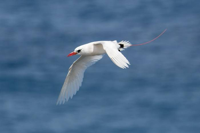 Red Tailed Tropicbird Shutterstock 290047391