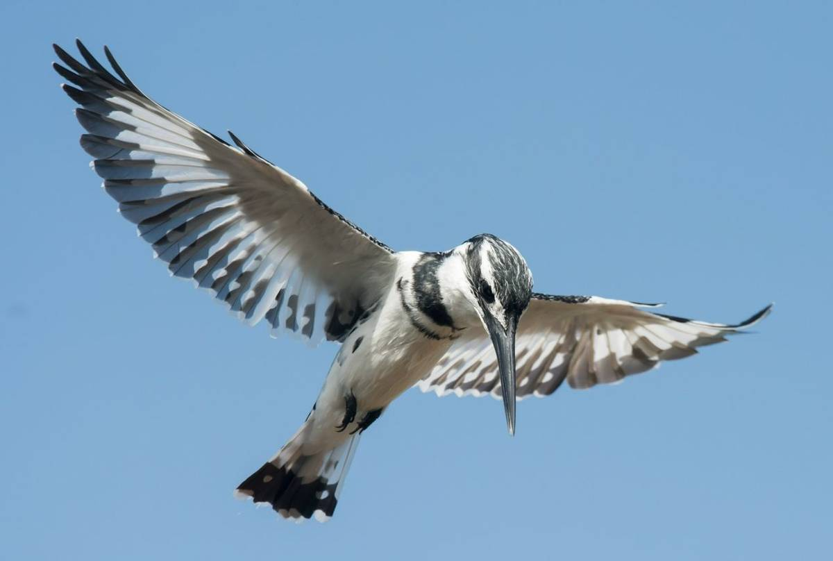Pied Kingfisher Shutterstock 237329539