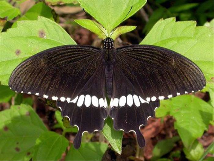 Common Mormon (Brian Goodey)