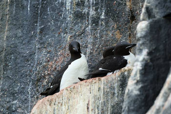 Brunnich's Guillemots on nesting ledge (Bret Charman)