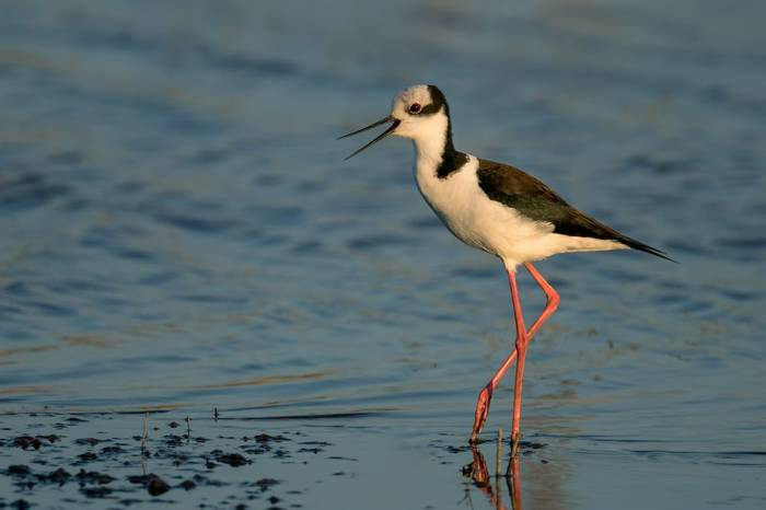 South American Stilt Shutterstock 503653084
