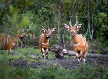 The Congo - Rainforest Wildlife of Africa's Hidden Heart