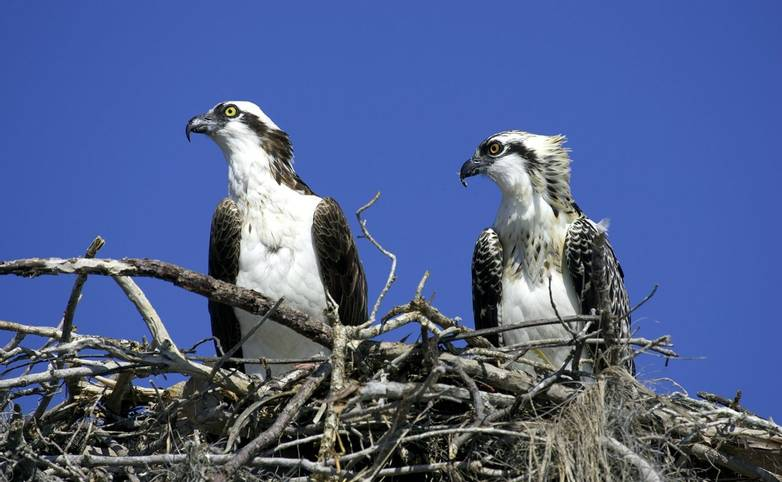 Wildlife - Ospreys Nest - AdobeStock_46178.jpeg