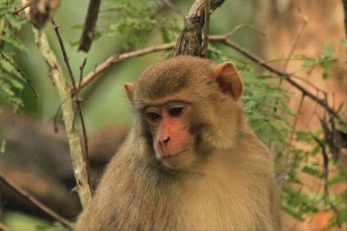 Rhesus Macaque (Janice Fiske)
