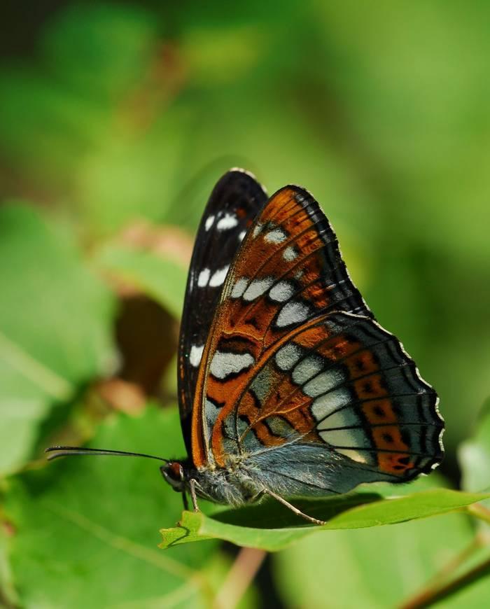 Poplar admiral butterfly shutterstock_14531251.jpg
