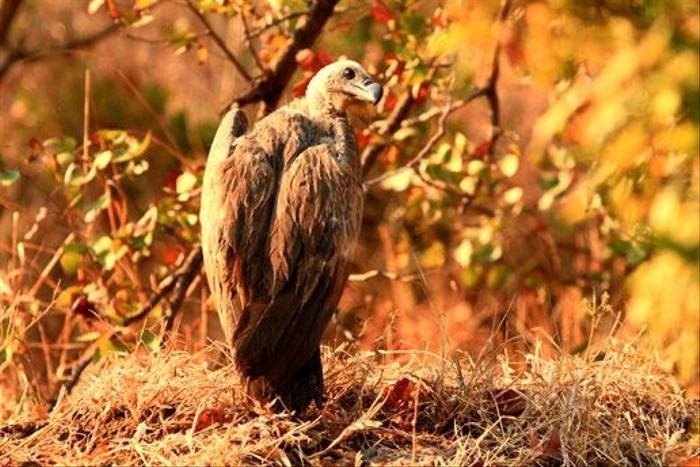 White-backed Vulture (Bret Charman)
