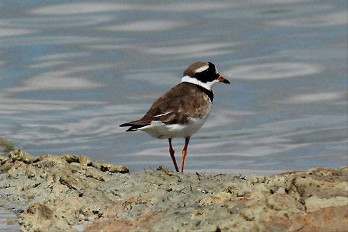 Ringed Plover (Peter Dunn)