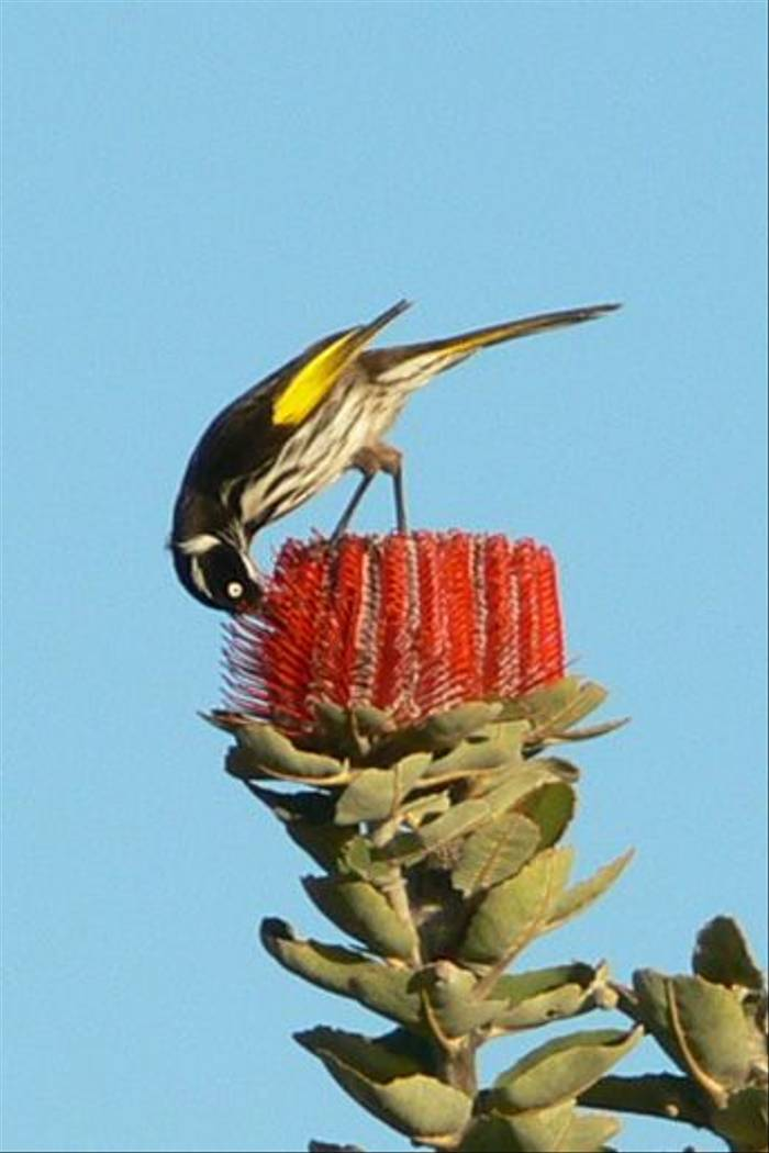 New Holland Honeyeater feeding on Banksia coccinea (Peter Taylor)