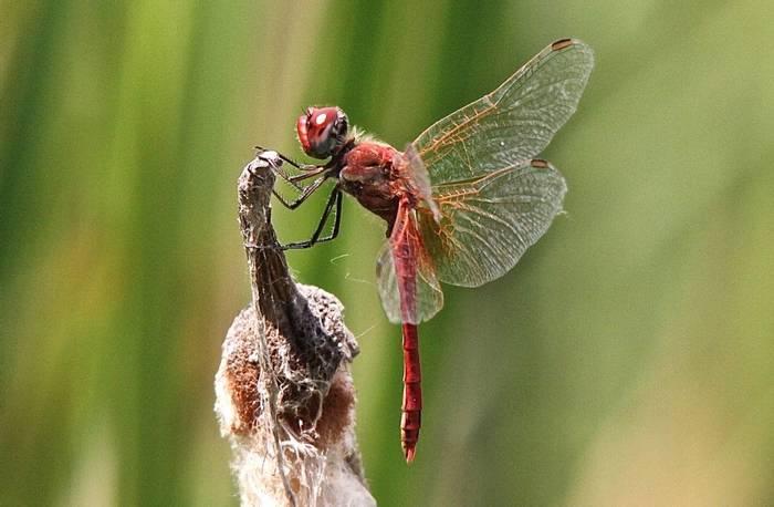 Sympetum fonscolombii - Red-veined Darter (Alan Outen)
