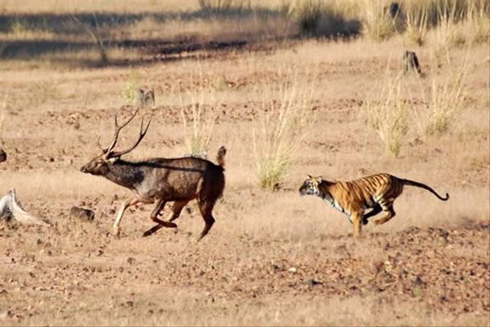 Tiger chasing Sambar (Adit Dhanwate)