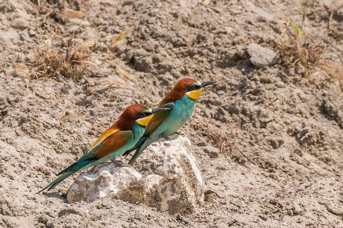 European Bee-Eaters (Ian Tulloch)