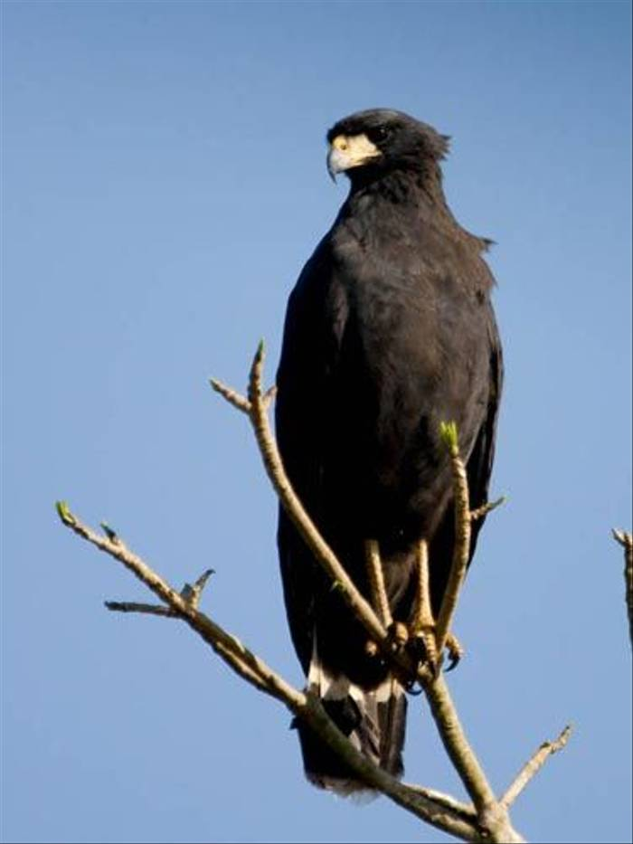 Great Black Hawk (Mike Galtry)