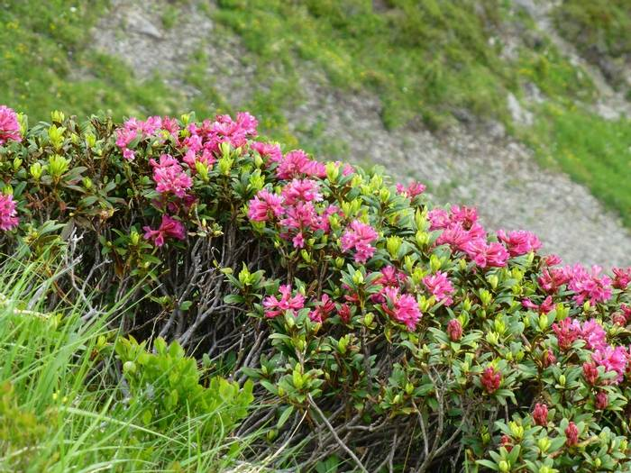 Alpenrose, Rhododendron ferrugineum (Kerrie Porteous)