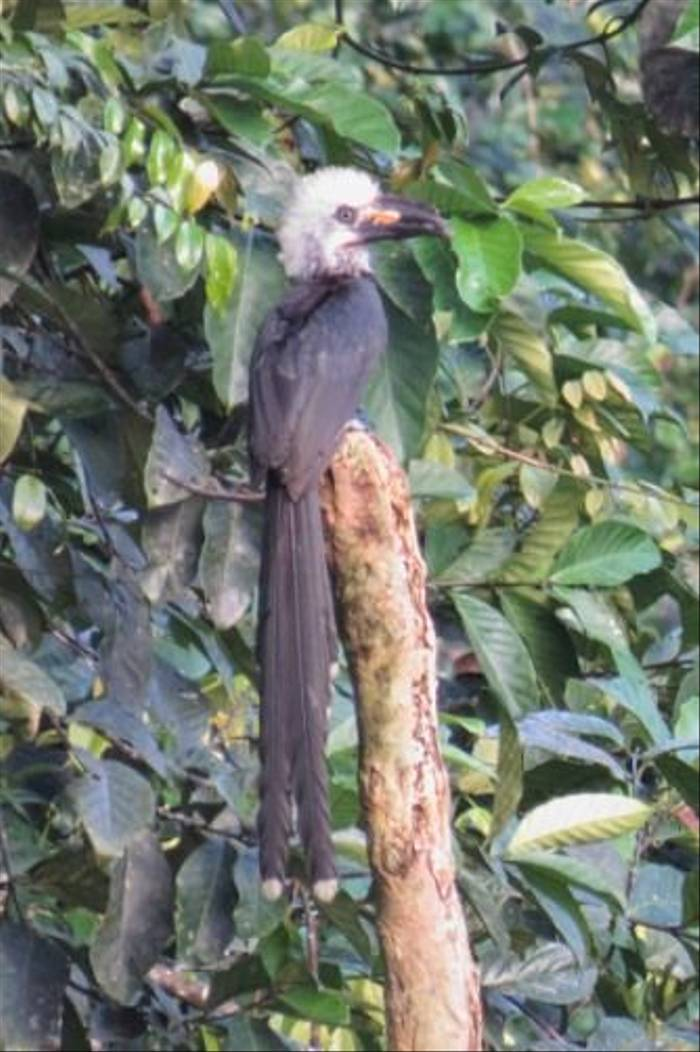 White-crested Hornbill (Mike Watson)