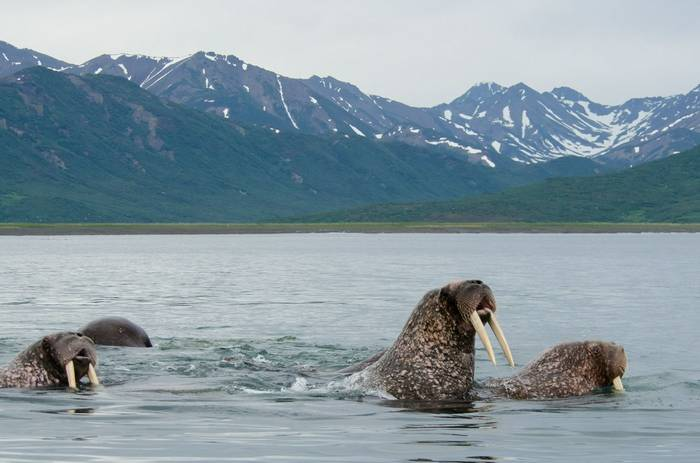 Pacific Walruses (Tim Melling).jpg