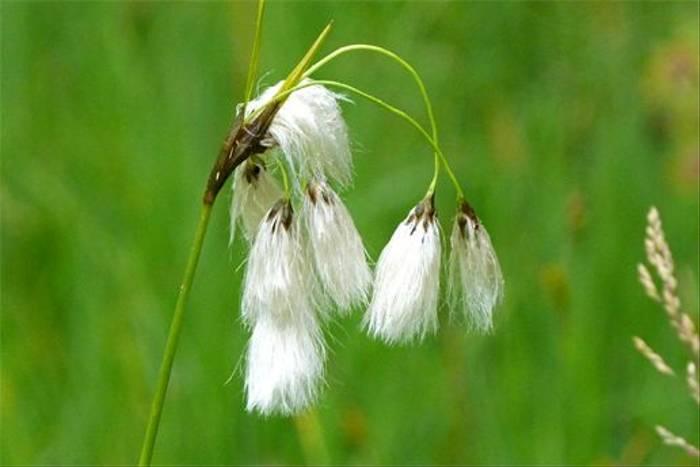 Eriophorum latifolium (Lis Allen)