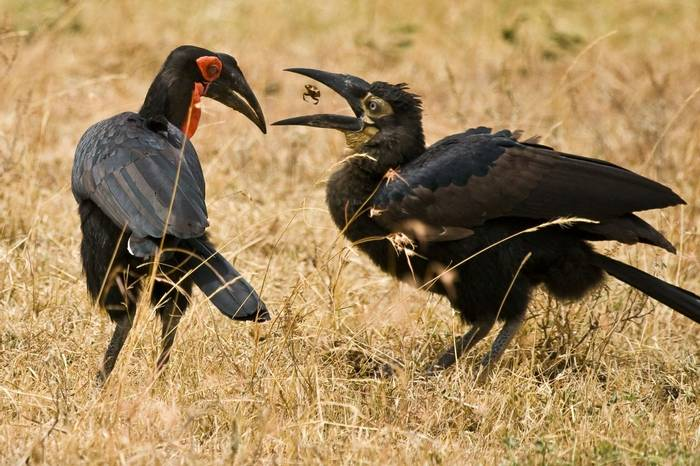 Southern Ground Hornbill, Masai Mara