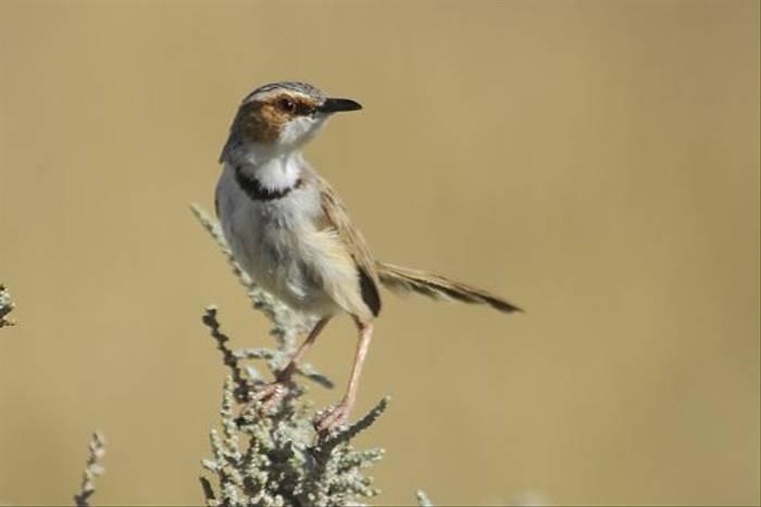 Rufous-eared Warbler (Neil Macleod)