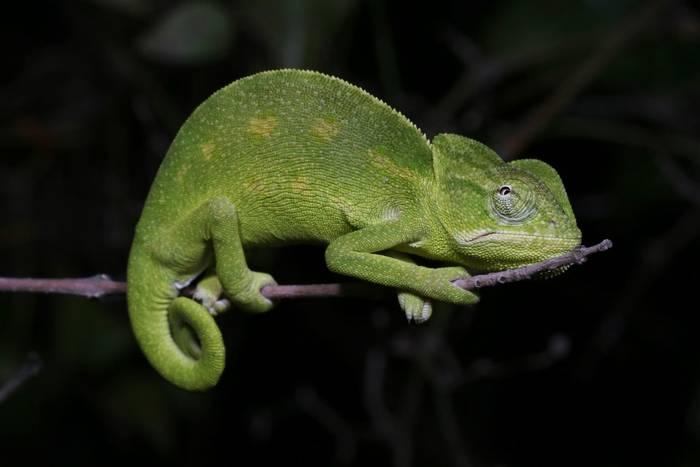 African Chameleon (Chamaeleo africanus) - Bobby Bok