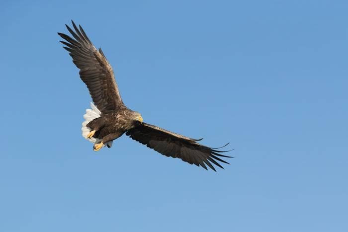 White-tailed Eagle, Scotland shutterstock_256336993.jpg