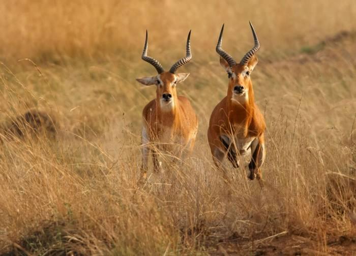 Ugandan Kob Shutterstock 370485671