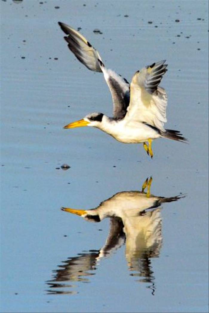 Large-billed Tern (Ian Bruce)