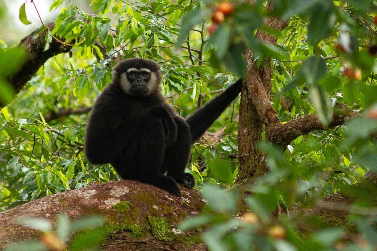 Agile Gibbon, Borneo Shutterstock 1278000523