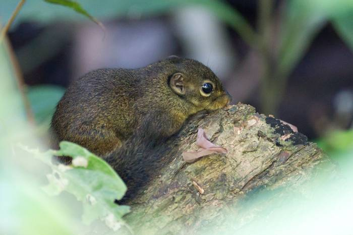 Low's Squirrel (Jackie Lover)
