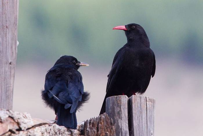 Red-billed Chough (Alan Curry)