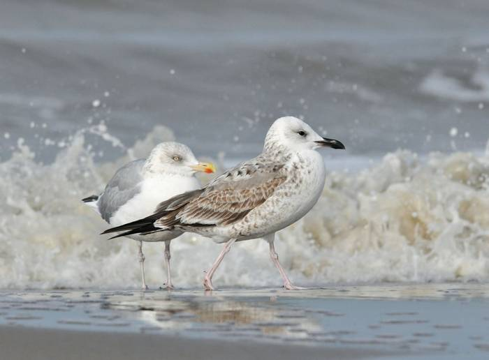 Caspian Gull shutterstock_1318159367.jpg