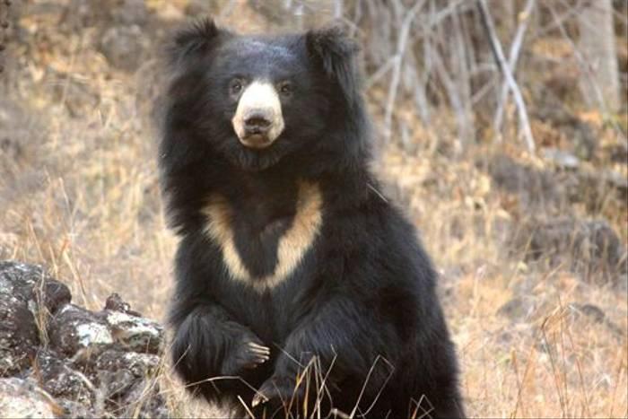 Sloth Bear, Bandhavgarh (Himanshu Rathore)