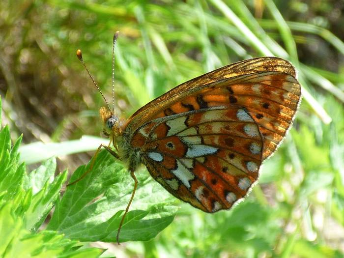Pearl-bordered Fritillary by Alan Miller