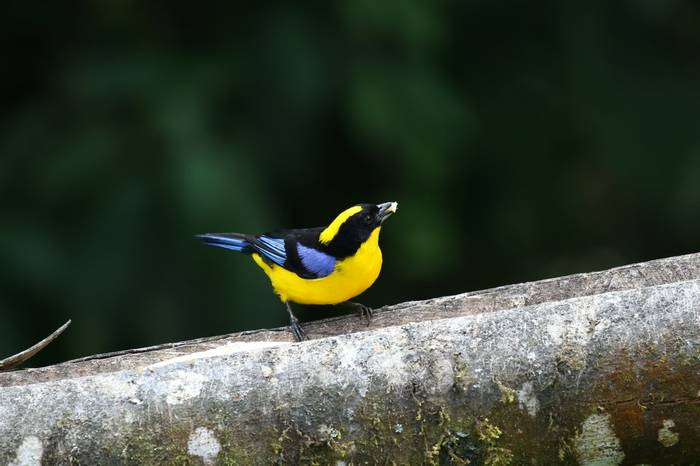 Blue Winged Mountain Tanager (Robin Smith)