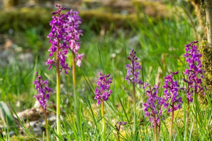 Early Purple Orchid, UK shutterstock_1111844996.jpg