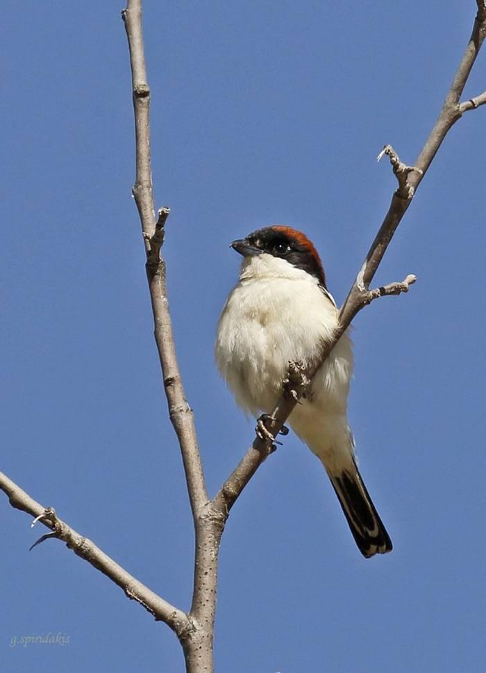 Woodchat Shrike (Georgos Spiridakis)