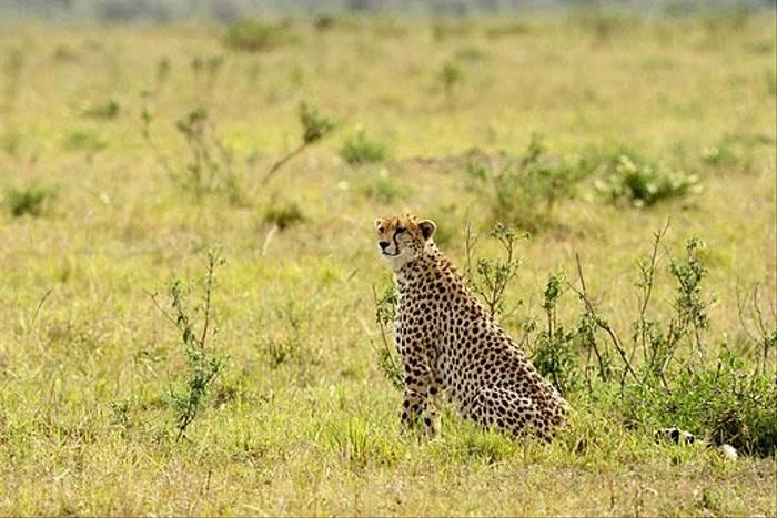 Cheetah (Bret Charman)