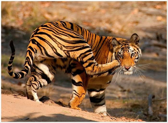 Tiger (copyright Margaret Coull)
