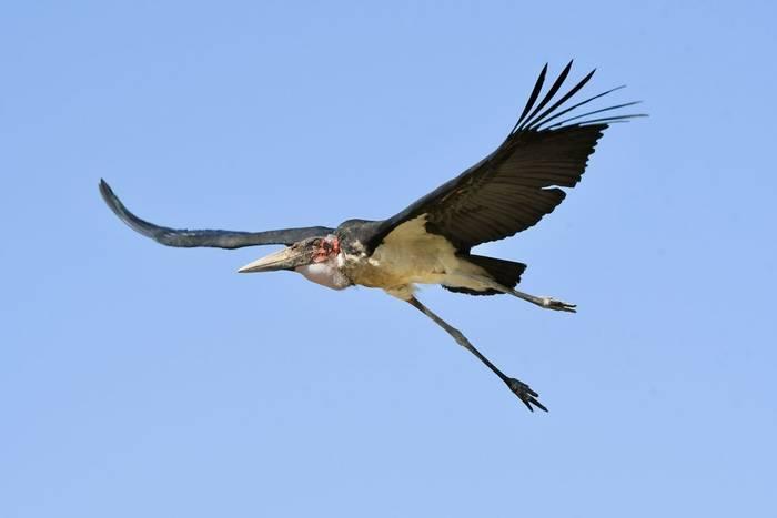 Marabou Stork 2.jpeg