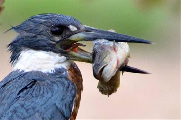 Amazon Kingfisher (Ian Bruce)