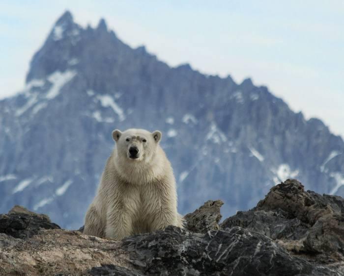 Realm of the Polar Bear (Robin Couchman)