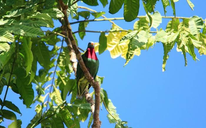 Claret-breasted Fruit-Dove_shutterstock_743218381.jpg
