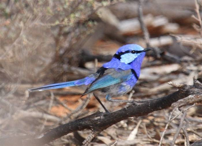 Splended Fairy Wren