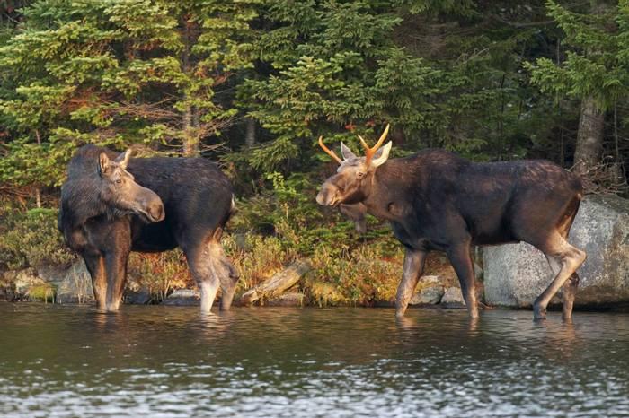 Moose,-Maine,-USA-shutterstock_605448086.jpg